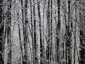 Snowy Forest Trees
