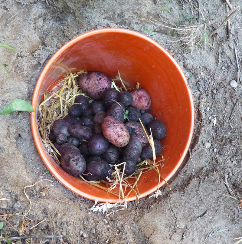 Root Barrel with Potatoes & root cellars | The Druidu0027s Garden