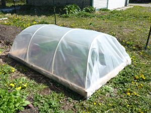 Closed hoop house with greens growing inside!