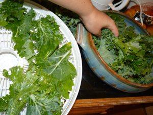 Loading Kale into Dehydrator