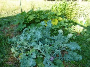 Four Siberian Kale plants in my garden!