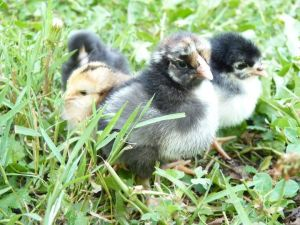 The peeps will be laying fresh eggs in a few months!