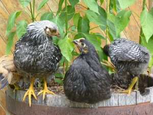 Chickens as regenerators of soil!