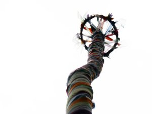 Ash tree honored as maypole