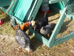 Chickens near their chicken tractor/coop
