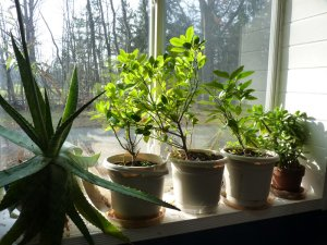 Citrus in south-facing window