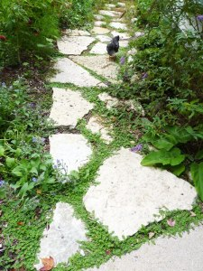Converted lawn - now beautiful path with chickens!