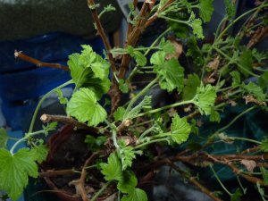 Lemon-scented geranium