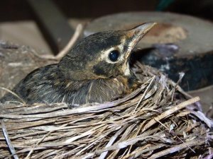 Baby robins will thank you for your efforts!