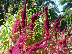 Awesome Amaranth in full bloom!