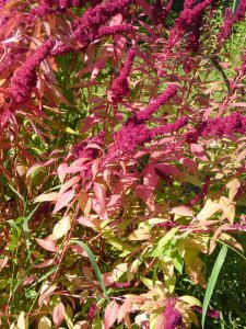 Amaranth in Early August
