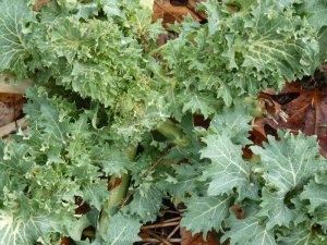 Kale (outside of hoop house)