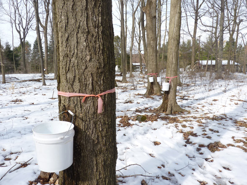 a3923bce10c The Process of Tapping Trees and Making Maple Syrup – A Blessing ...