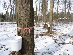 Sap in buckets on trees!