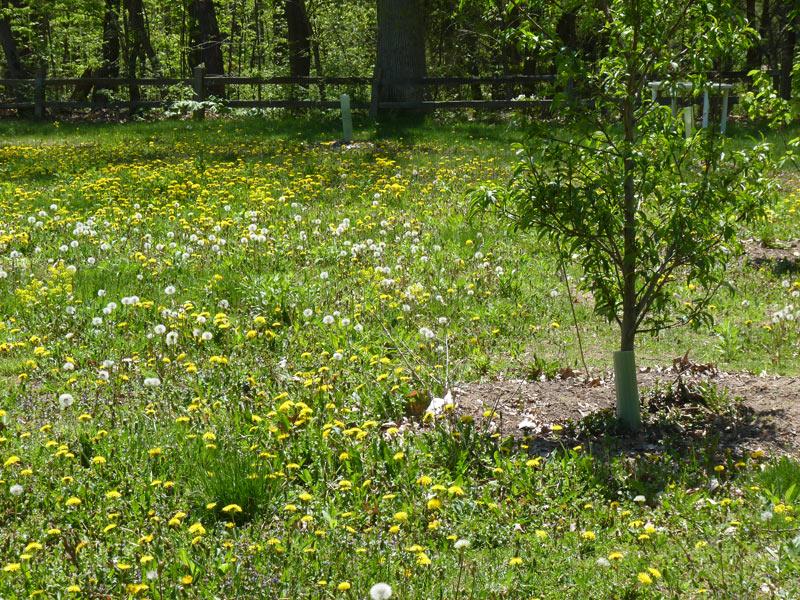 Charmant Yard Full Of Dandelions!
