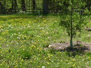 Yard full of dandelions!