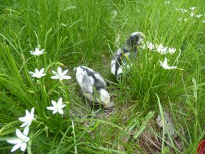 Chickens enjoying the tall grass!