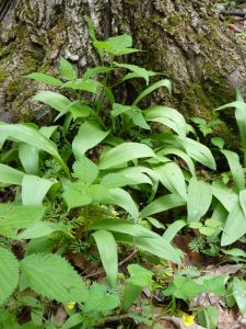 Ramps (with wild nettle and other plants). The ramps are the green ones bending over slightly.