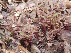 Amaranth sprouts in one of the new beds!