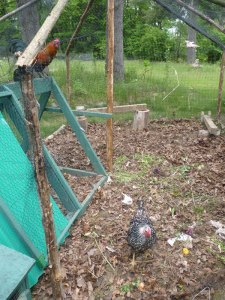 Chickens working the compost!