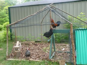 Chickens in their enclosure (note the enclosure was built with 90% repurposed materials!)