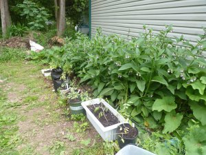 Comfrey patch with extra tomato seedlings