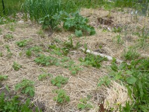 Finished sheet mulched beds--planted with potatoes, kale, and garlic!