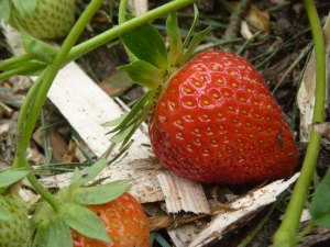 Ripening Strawberry!