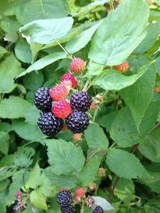 Closeup of Black Raspberry