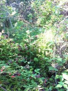 Fruit bushes overflowing!