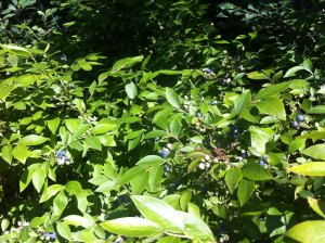 Wild blueberry bushes in a bog!