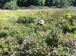 Deep in the blueberry bog--an abundant harvest!