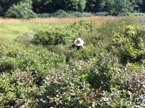Deep in the blueberry bog--an abundant harvest!