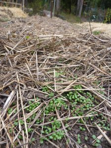 Clover cover crop (seeded 1.5 weeks before)