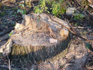 Former oak