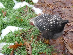 Lima eats winter rye with snow on the ground last winter!