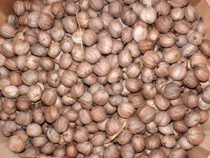 Shelled shagbark hickory nuts