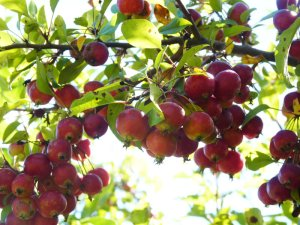 Crab apples - these are tart and sweet!