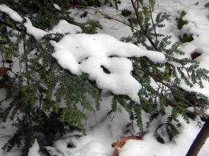 Hemlock branch with snow