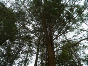 Looking up in a grove of hemlocks