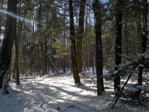 Hemlock in the forest with other trees