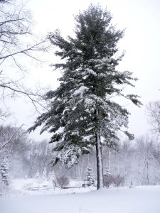 White Pine, the Tree of Peace