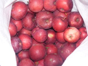A good harvest of wild apples