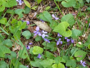 Beautiful spring violets!
