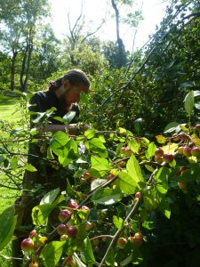 Harvesting crab apples at Bittersweet Farm