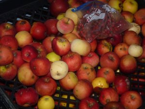 Late Season Cider Apples (and a small bag of tiny, very tart crab apples)