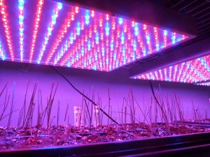 LED lights with onions growing
