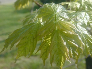 Maple leaves early in the spring