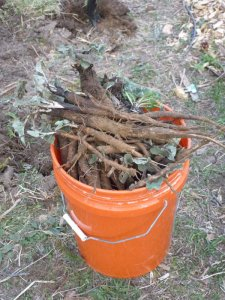 Bucket full of burdock!
