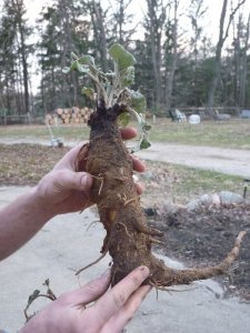 Huge burdock root!